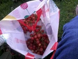 Cherry picking for making jam!